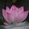 DSC00582 one lotus