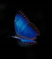 Blue Morpho inflight