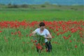 walk on a highway of poppies