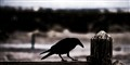 raven in death valley (1 of 1)