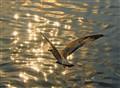 Sparkling gull...