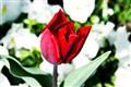 Baby tulip