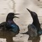 Boat Tailed Grackle-9568