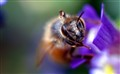 Apis mellifera (European Honey Bee)