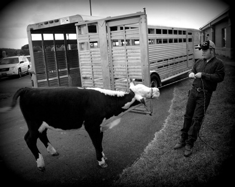 Man vs. Cow