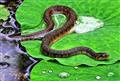 Snake on Wet Lilly Pad