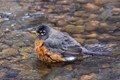 American Robin bathing in the creek