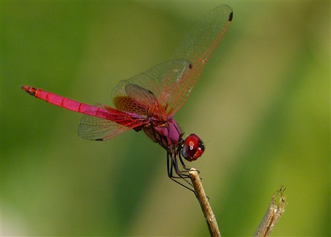 pinkDragonFly