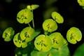 Euphorbia bracts