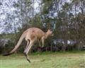 Kangaroo 201002