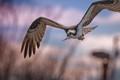 Sunset Osprey
