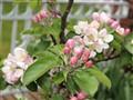 Jonagold blossoms