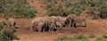 11 Loxodonta africana