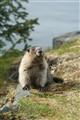 r marmot