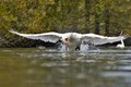 The chase. territorial Swan