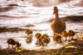 Duck family enjoying their day.