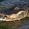 Alligator Grabs Big Dinner in Salt Marsh 04