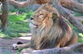 Lions !
