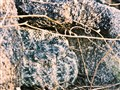 Southwestern Speckled Rattler, South Mountain, Phoenix AZ