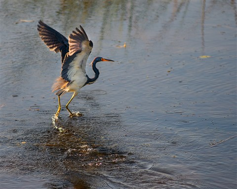 Great Blue Heron at Viera Wetlands Florida (Ardea herodias)