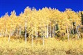 Bright Yellow Aspen
