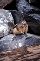 Goldenmantled rock squirrel