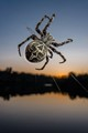 Spider spinning his web in a handrail on Adda River, N Italy