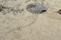 Sting Ray on the beach...