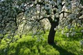 Springtime in the orchard