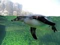 Penguin RGZ