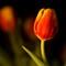 Tulip study no4