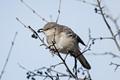 Northern mockingbird feeding on fruit
