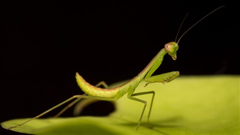 Mantis1 web