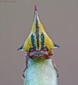 Thorn Treehopper ( Umbonia Crassicornis)