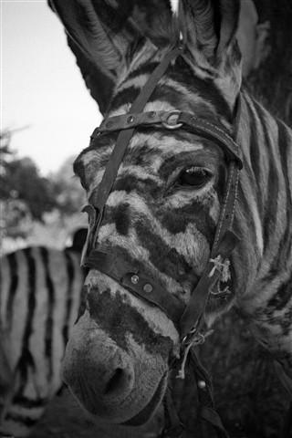 Sorry, but I'm not a Zebra