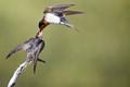Welcome Swallows at breakfast, Dirk Hartog Island, Western Australia