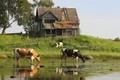 cows eat weed