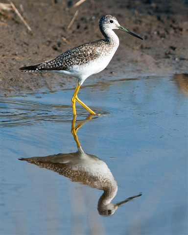 Yellow Legs at Blackpoint Dr. Merritt Island Refuge