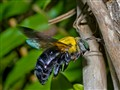 Carpenter Bee  6271