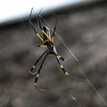 37 - Golden Orb Spider