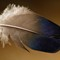Woodduck Drake Feather