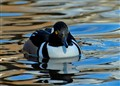 Hooded Merganser ..