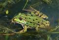 Burgundy frog