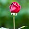 Garden Rose-1