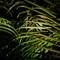 Early Morning Manila Palm
