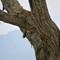 Leopard - Tarangire NP
