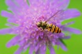 Hoverfly on green and purple