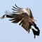 Goose Comming In crop JPEG