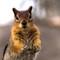 Golden Mantled Ground Squirrel, Crater Lake, OR - 2015 ©Richard Greene