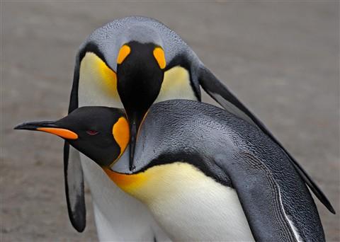 Jim Lenthall-Penguin Love